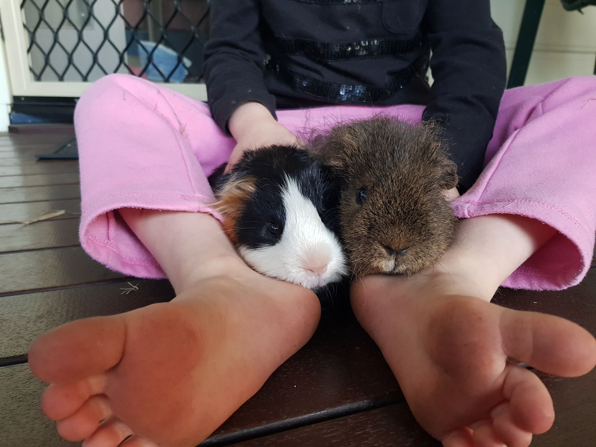 Two Guinea Pigs with girls feet around them