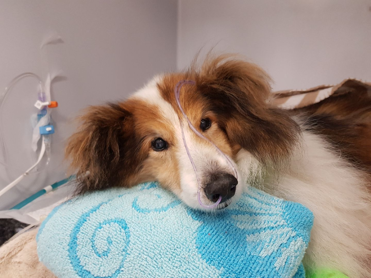 Shelty lying on a pillow in cage at the vet's