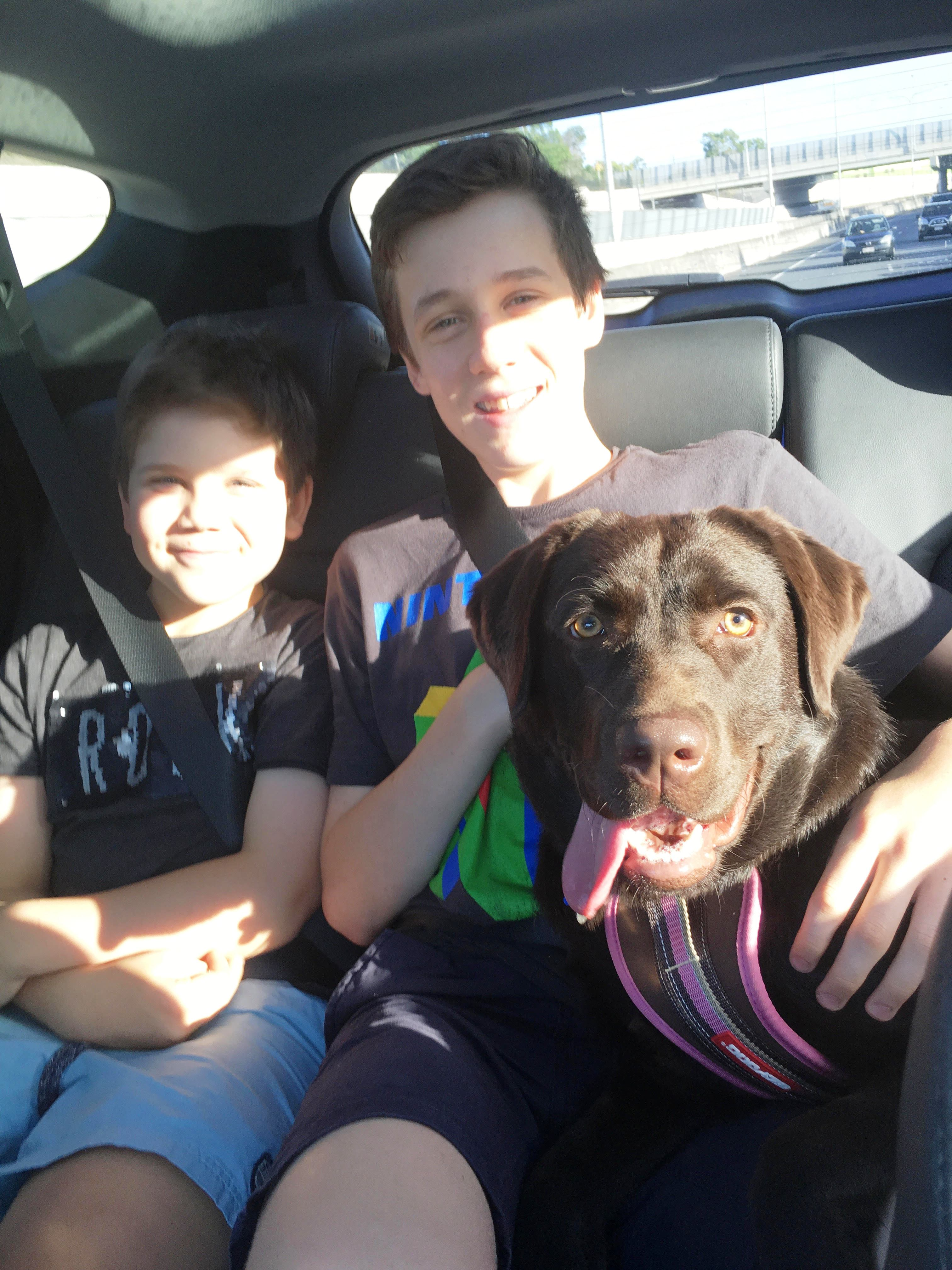 Young black Labrador in car with two boys