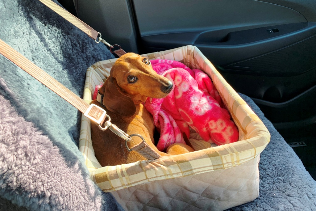 Brown Dachshund in travel seat in car