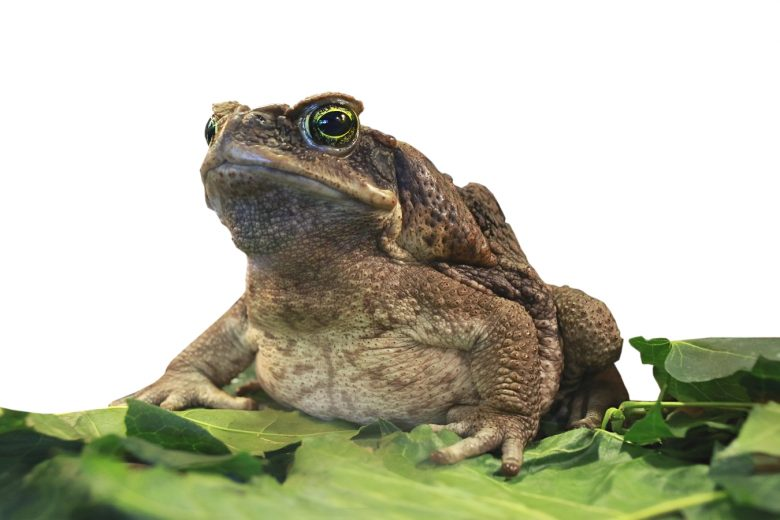 Emergency first aid for a pet with toad poisoning