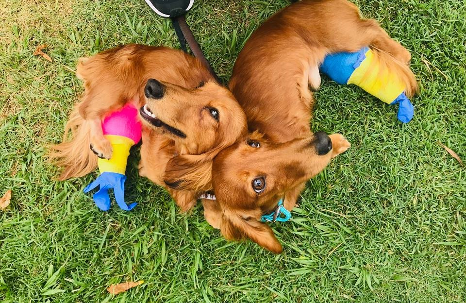 Two brown long-haired Dachshunds on grass