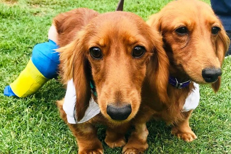 Dachshunds and Pes varus