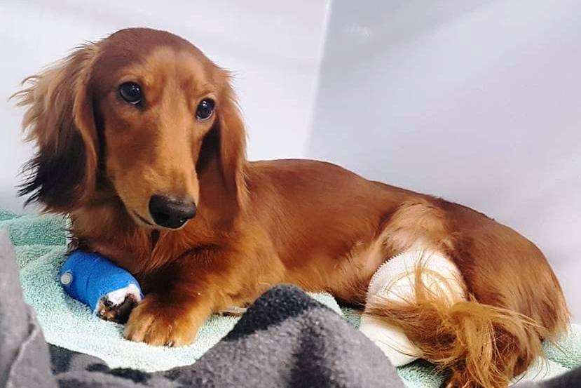 Brown long-haired Dachshund in cage at vet