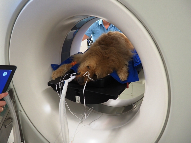 Brown dog lying on mat in radiation machine