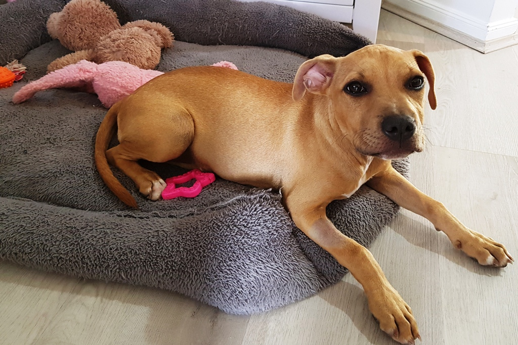 Young, brown staffy pup lying on grey cushion with pink neck tie