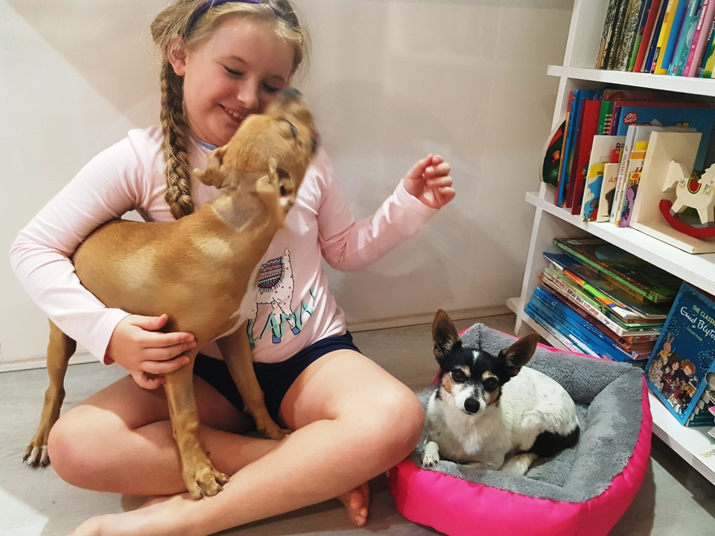 Young, brown staffy pup licking young girl's face