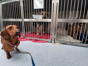 Brown Dachshund standing outside cage with dogs in it.