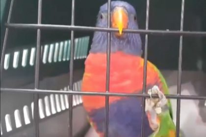 JO The Rainbow Lorikeet